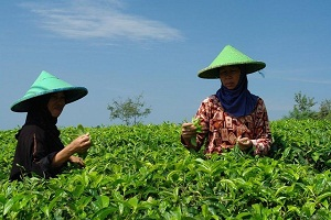 picking-tea-leaves-on-java