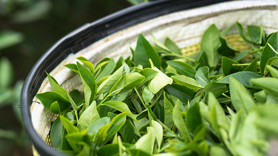 ASEAN-Briefing-Investment in ASEANs Tea Industry (002)
